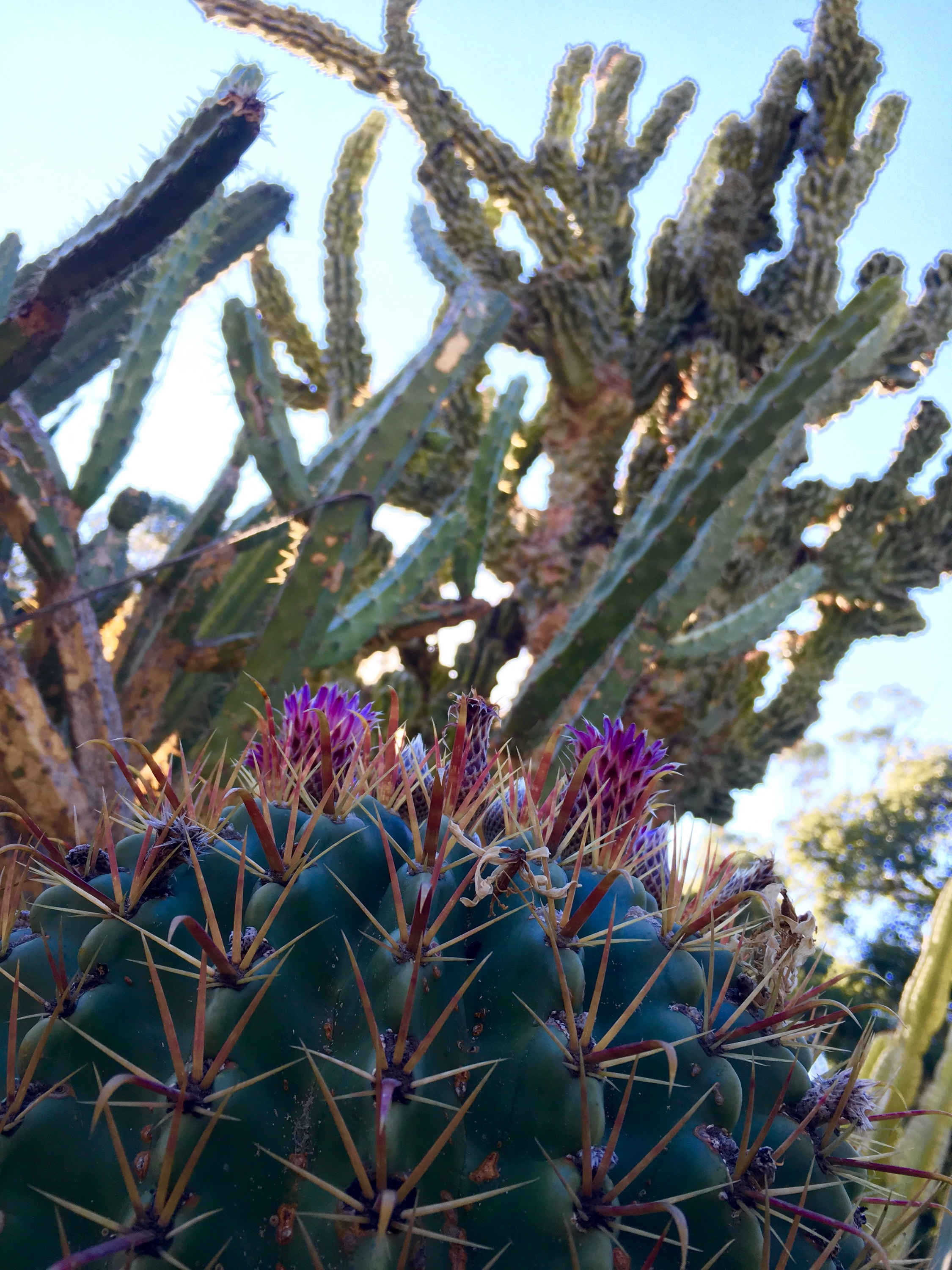 The Cactus Garden Is One Of The Few Remaining Landscape Artifacts From  Leland Stanfordu0027s Estate.