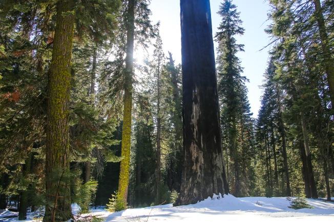 Sequoia-53